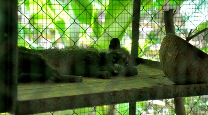 Kopi Luwak Produktion, Manggis/Bali